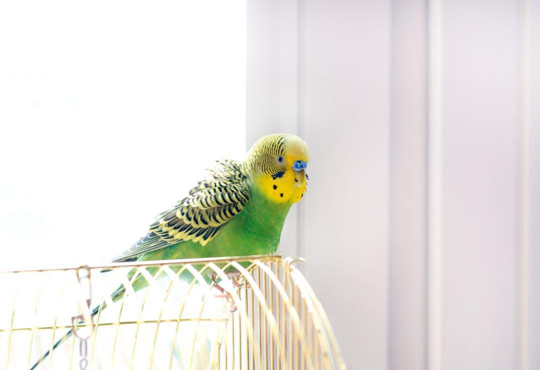 Parrott in a cage near a window.