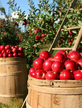 Apple orchards with barrels.